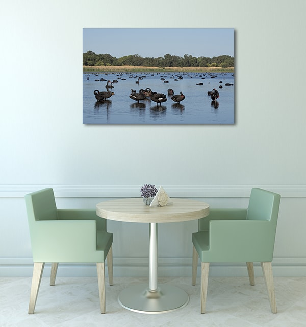 Black Swans On A Lake Perth Art Prints