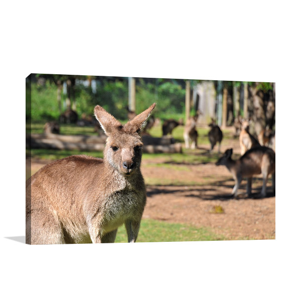 Brisbane Art Print Kangaroo Lone Pine Prints Canvas