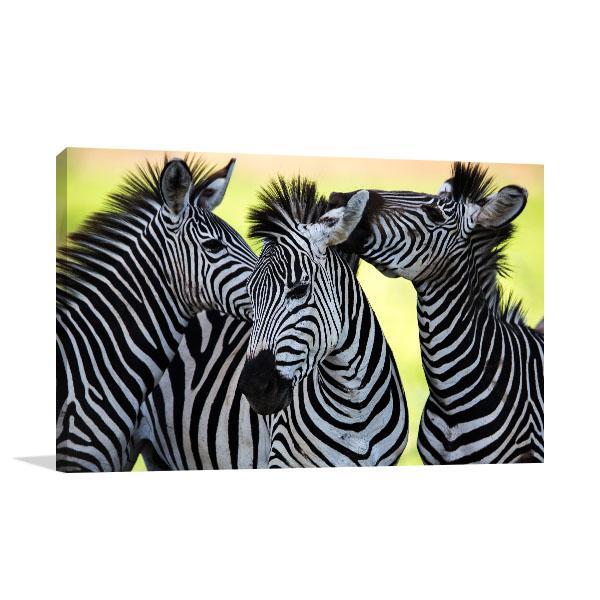 Wild Zebras Canvas Prints